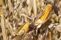 Neue Erkenntnisse über Gentech-Mais. Bild: pixelio/Günter Havlena