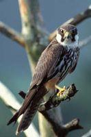 """Der Baumfalke ist ein kleiner Falke, dessen auffälligstes Merkmal seine rostroten """"Hosen"""" (Beingefieder und Unterschwanzdecken) sind."""