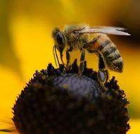 Biene: Wichtige Bestäuber vom Aussterben bedroht.