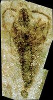 Kein Insekt: die Überreste eines 360 Millionen Jahre alten Fossils namens Strudiella. Quelle: Foto: Universität Göttingen (idw)