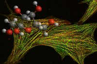 Fruktose lässt Herzzellen unkontrolliert wachsen. Quelle: P. Mirtschink/Tatiana Simka/ETH Zürich (idw)