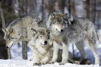 """Wolfsrudel bestehen meist aus einem Elternpaar und dessen Nachkommen. / Bild: """"obs/3sat/ZDF/iStock/Ricardo de Mattos"""""""
