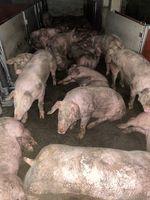 """Schweine im Wartebereich des Schlachthofes Gärtringen Ende Juni 2020. Die Tiere liegen in ihren Fäkalien.  Bild: """"obs/SOKO Tierschutz e.V."""""""