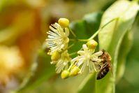 """Biene auf Lindenblüte. Insekten, Insektenschutz, insektenfreundliche Gehölze, Linde, Ahorn, Kornelkirsche, Eiche / Bild: """"obs/Bund deutscher Baumschulen (BdB) e.V./Kosolovskyy/iStock"""""""