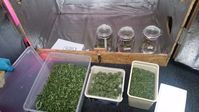 Abgeerntetes Pflanzenmaterial: Fast völlig legalisiert aber immer noch sinnloserweise verfolgt.