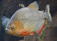 Roter Piranha (Pygocentrus nattereri)