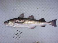 Der Alaska-Seelachs ist Beispiel für eine Fischart, deren Bestände nicht nachhaltig befischt werden.