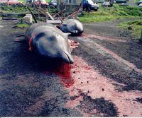 Grindwalfang auf den Färöern. Die Wale werden mit dem Grindaknívur quasi geköpft und sterben meist innerhalb einer Minute.