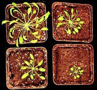 Pflanzen mit defekter Regulation (unten) bleiben im Wachstum zurück. Bild: Bräutigam/FSU
