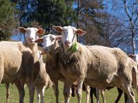 Schafe funken mit 0GBild: Heliot Europe Fotograf: Reinhard Huber