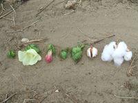 Stadien der Baumwolle (v.l.): Knospe, Blütenöffnung, verblüht, zwei junge Fruchtstadien, Kapselfrucht fast reif, Kapselfrucht vollreif und geöffnet