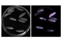 Die Insektenlarven wurden mit P. asymbiotica infiziert. Da die Bakterien biolumineszent sind, leucht Quelle: Ralf Heermann, LMU (idw)