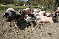 Die Schwäbisch-Hällischen Landschweine werden artgerecht auf Bauernhöfen gehalten Bild: ZDF Fotograf: ZDF/Kathi Liesenfeld