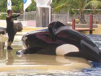 """TUI behält Themenparks im Programm / Orca im Loro Parque auf Teneriffa / Bild: """"obs/Wal- und Delfinschutz-Forum gUG"""""""