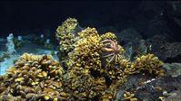 Bathymodiolus-Muscheln an der Menez Gwen-Hydrothermalquelle vor der Küste der Azoren, aufgenommen. Bild: MARUM, University of Bremen/Germany. (idw)