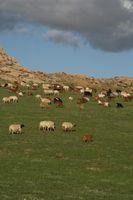 In Trockenräumen gibt es oft nur in regenreichen Jahren hinreichend Futter, um größere Herden zu ernähren. Quelle: © Senckenberg (idw)