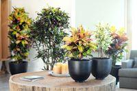 """Blattvielfalt beim Kroton. Bild: """"obs/Blumenbüro Holland"""""""