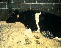 Erscheinungsbild der Enzephalopathie. Die Kuh ist nicht mehr in der Lage zu stehen. Bild: de.wikipedia.org