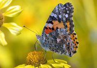 Nicht nur direkte Interaktionen von Artenpaaren wie blühende Pflanzen und Insektenbestäuber beeinflussen die Koevolution, sondern auch indirekte Effekte weiterer Spezies. Quelle: Mark A. Chappell (idw)