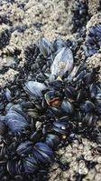 Muschelbank: Mikroplastik reichert sich leicht an.