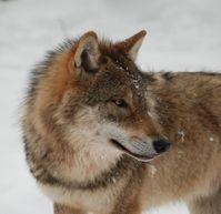 Die Wölfe sind nach Deutschland zurückgekehrt, umso wichtiger ist ein gutes Management der scheuen R Quelle: © Susanne Carl (idw)