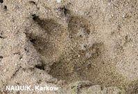 Der Wolf setzt zum zweiten Mal seine Pfoten auf deutschen Boden. Bild: NABU