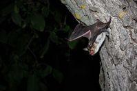 Großes Mausohr beim Abflug. Quelle: MPI f. Ornithologie/ Greif (idw)