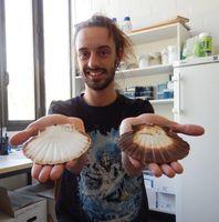 Der Verhaltensökologe David Vendrami von der Universität Bielefeld untersucht, wie sich Populationen der Jakobsmuschel unterscheiden. Quelle: Foto: Universität Bielefeld (idw)