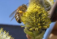 Weidenbäume sind für Wild- und Honigbienen eine der ersten wichtigen Nahrungsquellen im Frühjahr. Bild: Deutscher Imkerbund e. V. Fotograf: Peter Gerson