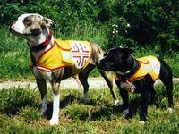 Staffordshire Bullterrier (rechts) und American Pit Bull Terrier im Dienst der Österreichischen Rettungshundebrigade