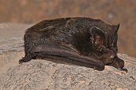 Mobsfledermaus