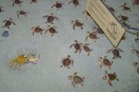 Geschlüpfte Schildkröten auf dem Weg zum Meer. Bild: pixelio/korneloni