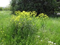 Invasive gebietsfremde Pflanzenarten, wie hier die Orientalische Zackenschote (Bunias orientalis), s Quelle: Foto: Harald Auge (idw)