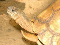Eine der seltensten Schildkröten weltweit: die Schnabelbrustschildkröte oder Angonoka (Astrochelys y Quelle: Bildautoren: Frank Glaw and Miguel Vences (idw)