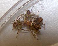Jungspinnen der gruppenlebenden Krabbenspinne Diaea ergandros fressen gemeinsam an einer Fliege, auf Quelle: Foto: Jasmin Ruch (idw)