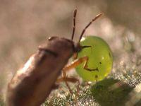 Eine Raubwanze wird durch grüne Blattduftstoffe angelockt und vertilgt daraufhin ein Tabakschwärmer-Ei. Die Pflanze hat sich so indirekt ihres Fraßfeindes entledigt. Quelle: Merit Motion Pictures, Winnipeg, Manitoba, Canada (idw)