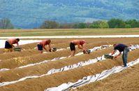 Arbeiter, Landwirtschaft, Spargelernte (Symbolbild)