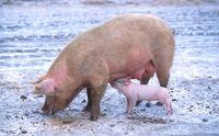 Hausschwein (Sus scrofa domesticus): Sau mit Ferkel  (Symbolbild)