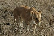 Löwin Bild: Schuyler Shepherd (Unununium272) / de.wikipedia.org