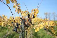 Goldener Oktober Im Weinberg