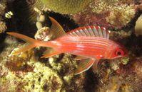 Husarenfisch, einer der vielen nachtaktiven, rifflebenden Fischarten mit besonders großen Augen. Quelle: Copyright: A. Dornburg (idw)