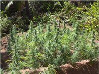 Hanf: Eine Wunderpflanze mit über 1.000 Verwendungsmöglichkeiten.