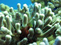 Rotmeer-Preussenfisch in einer Koralle der Gattung Stylophora Quelle: Foto: Nur Garcia, Leibniz-Zentrum für Marine Tropenforschung (idw)