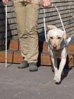 Ein junger Labrador Retriever erlernt das Führen einer blinden Person
