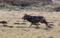 Wolf im Westerwald Bild: NABU/U. Stadler