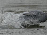 Stark bedroht: Irawadi-Delfin (Orcaella brevirostris). © F. Trujillo / WWF