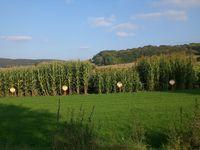 Durch Züchtung entstandene Maissorten