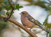 Fink: Vögel verhalten sich sozial angepasst. Bild: pixelio.de/Karl Dichtler