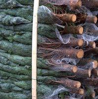 Weihnachsbäume werden immer öfter online bestellt.