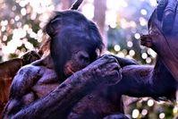 Bonobo: Muskulatur ähnelt uns mehr als angenommen.